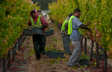 Harvesting in Sonoma County