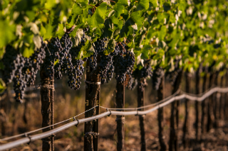 Row of vineyards