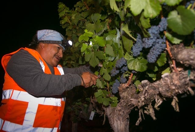 Sonoma County Toasts the Start of 2014 Harvest