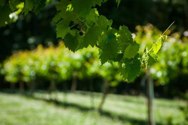 Sustainable Winegrowing Field Day